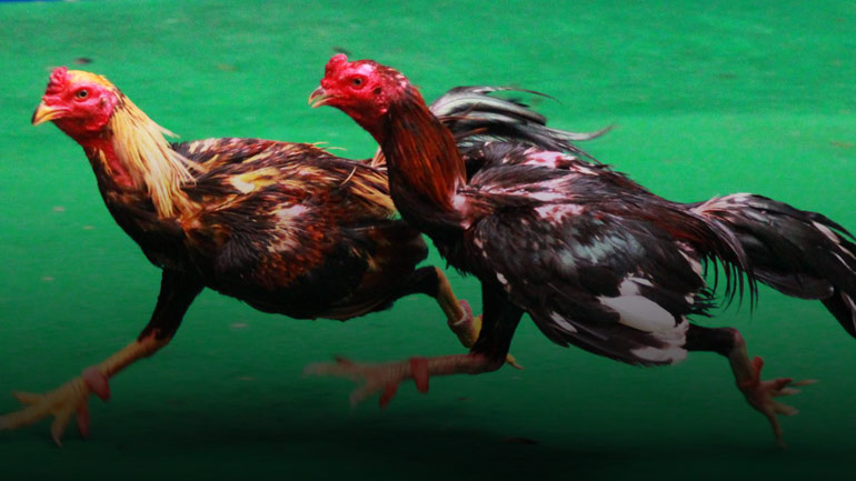 ไก่ชนพม่าม้าล่อ คืออะไร เมื่อมือใหม่หัดเลี้ยงไก่ชน