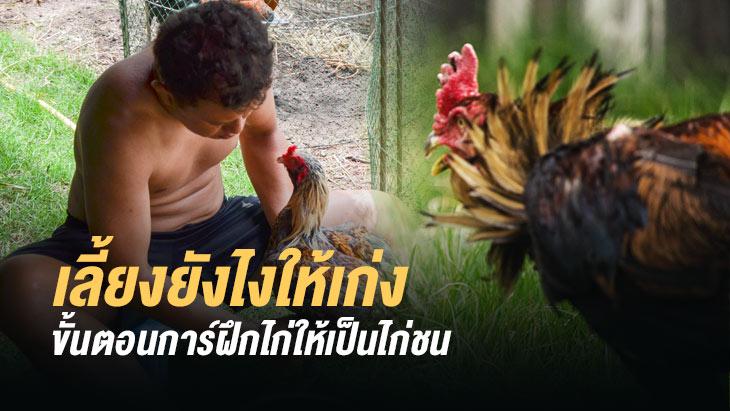 ขั้นตอนการฝึกไก่ให้เป็นไก่ชน สำหรับมือใหม่ โดยไก่ชนออนไลน์