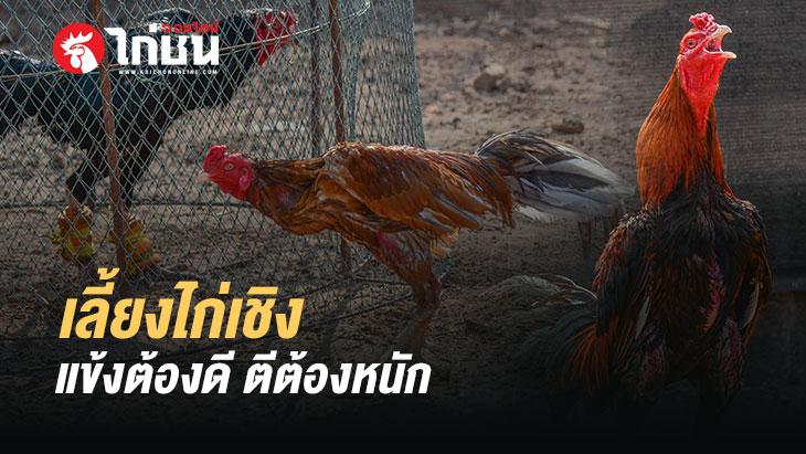 พัฒนาไก่เชิง เบอร์แข้งคือสิ่งสำคัญ มือใหม่หัดเลี้ยงไก่ชน