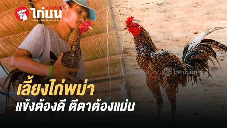 การพัฒนาสายพันธ์ไก่พม่าเพื่อออกชนจริง สำหรับมือใหม่หัดเลี้ยงไก่ชน