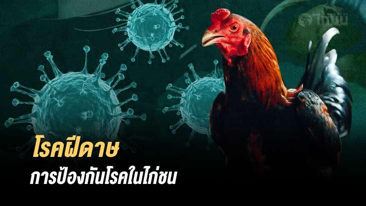 โรคฝีดาษไก่ชน โรคระบาดที่พบมากในไก่ชน และการรักษา