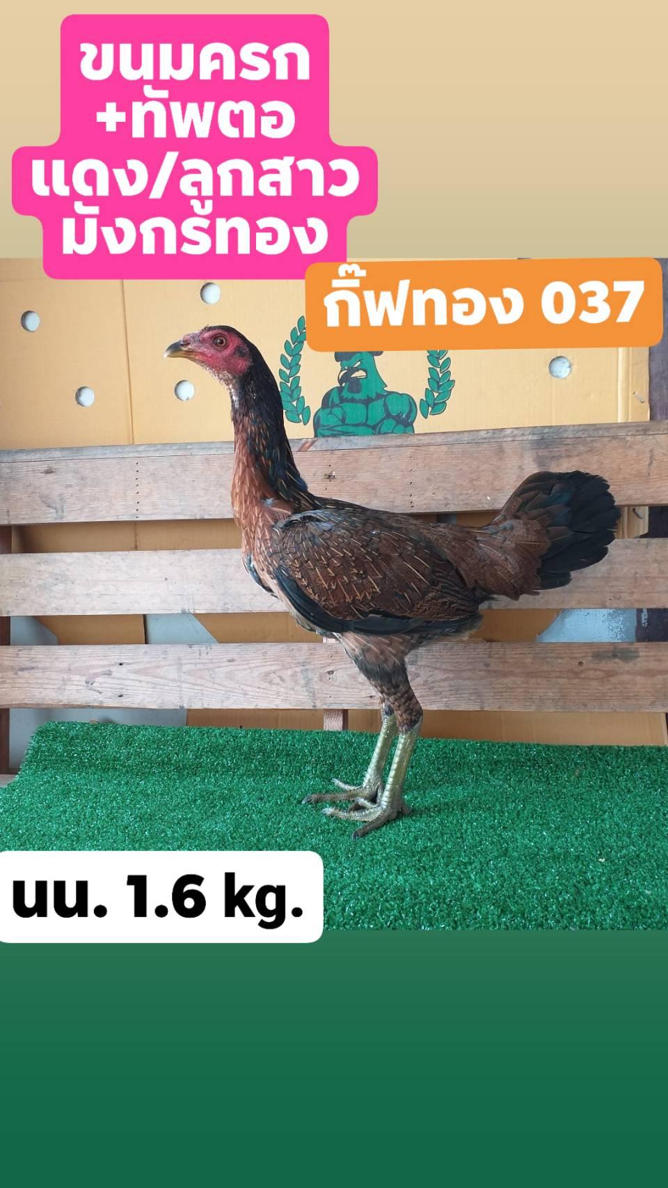 ตัวที่2 แบ่งแม่พันธ์ไก่พม่าสาวพร้อมไข่ สายเลือดดี กระดูกโครงสร้างดีตามสายเป็นไก่ม้าล่อ แข้งหน้าจัด คม